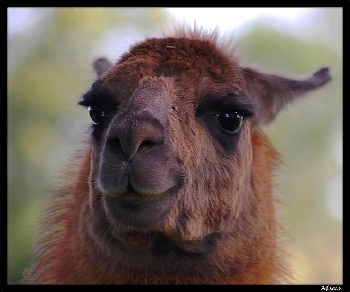 Un lama peut en cacher un autre Lama_011
