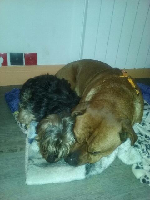 2 chiens trouvés errants non identifiés sur Mitry Mory (77) 20160123