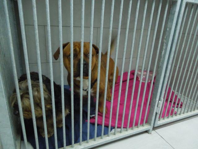 2 chiens trouvés errants non identifiés sur Mitry Mory (77) Dscn7011