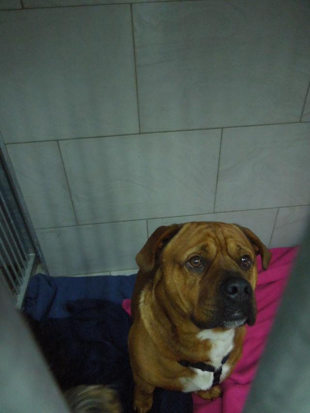 2 chiens trouvés errants non identifiés sur Mitry Mory (77) Dscn7012