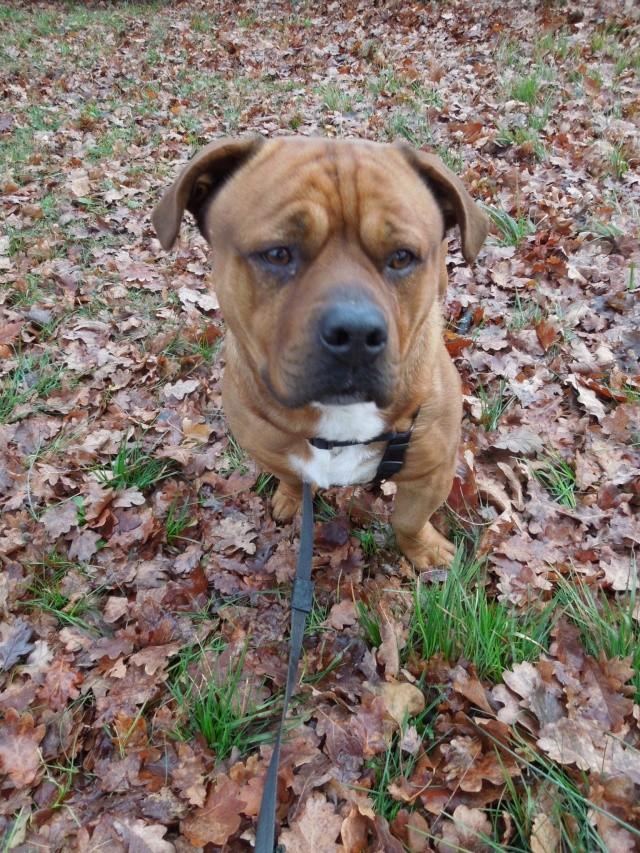 2 chiens trouvés errants non identifiés sur Mitry Mory (77) Dscn7023