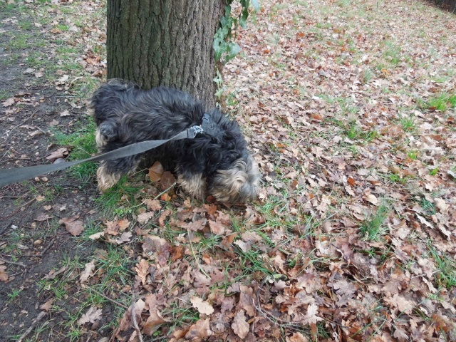 2 chiens trouvés errants non identifiés sur Mitry Mory (77) Dscn7025