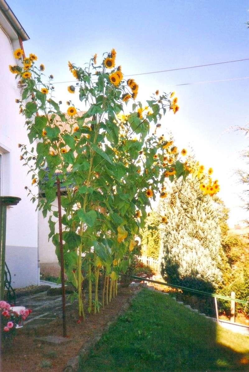 Gartenlaube Sonnen11