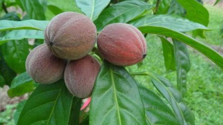 Unbelievable New Discovery! This Fruit Destroys Cancer Within Few Minutes! Blushw10