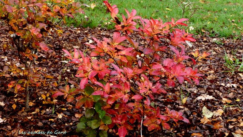 Rhododendron peut-être  'Northern Starburst' P1460910