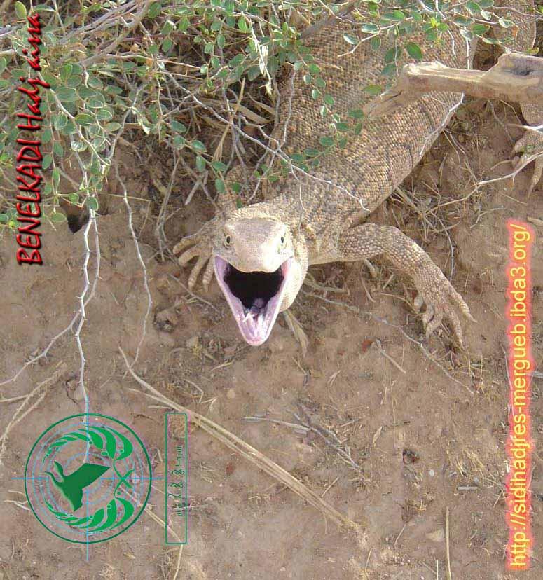 حيوان الورن الجزائري  110
