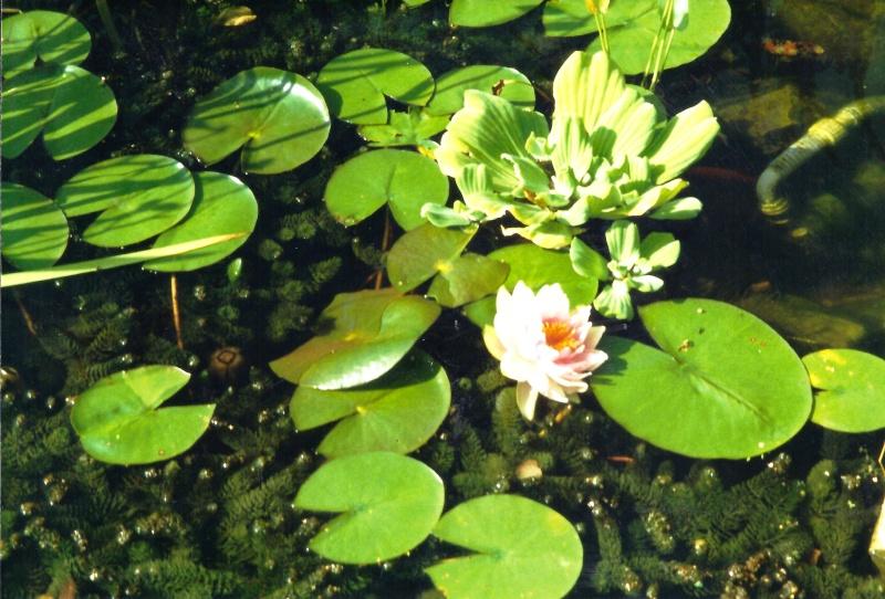Un étang au jardin puis deux Ef_910