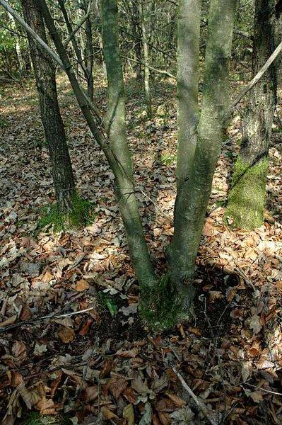 Linden Tree Dsc_0311