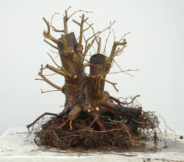 Linden Tree Linde-11
