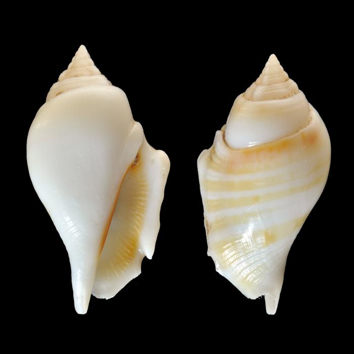 Gibberulus gibberulus gibbosus - (Röding, 1798) Cof1210