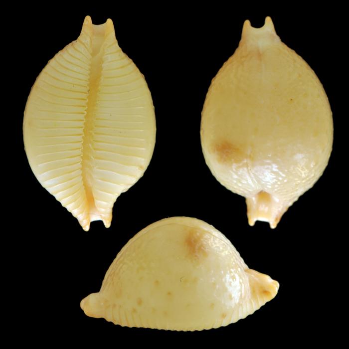 Pustularia cicercula cicercula - (Linnaeus, 1758) Gm51710