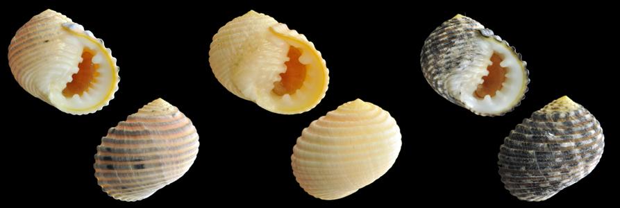 Nerita plicata ( Linnaeus, 1758 )    Plicat10