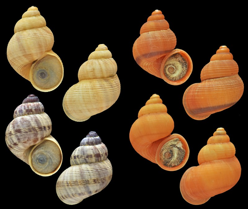Pomatias elegans (O. F. Müller, 1774) Pomati10