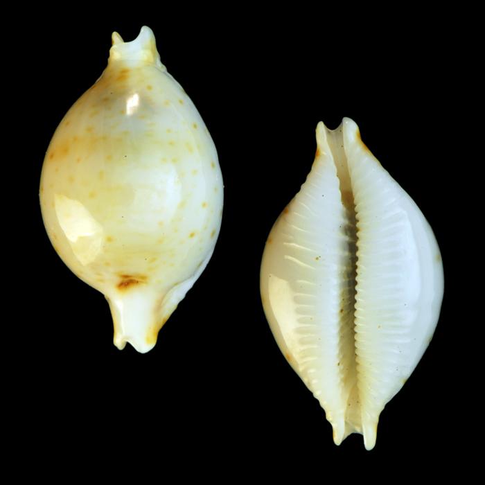 Pustularia margarita var. tuamotensis - Lorenz & Huber, 1993 voir Pustularia cicercula tuamotensis - Lorenz, 1999  Pustul10
