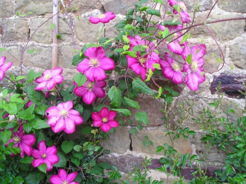 plante grimpante ombre feuillage persistant