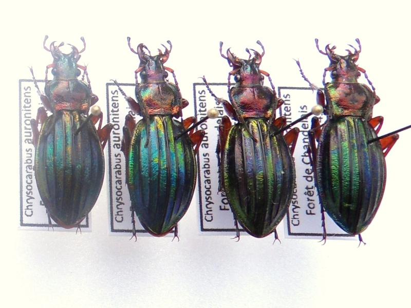 Chrysocarabus auronitens normannensis Sdc12310