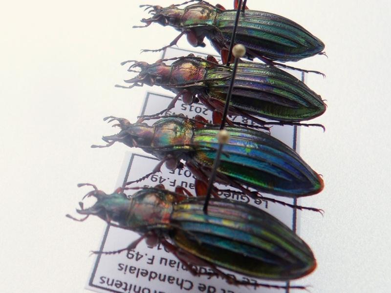 Chrysocarabus auronitens normannensis Sdc12312