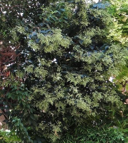 Ligustrum vulgare - troène commun 004_4410