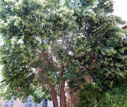 Ligustrum vulgare - troène commun 004_5010