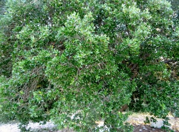 Phillyrea latifolia - filaire à feuilles larges 029_6010