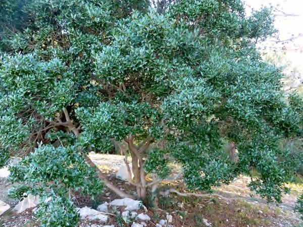 Phillyrea latifolia - filaire à feuilles larges 034_6010