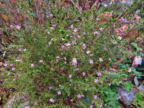 Boronia crenulata 037_6011