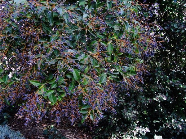 Ligustrum vulgare - troène commun Automn10