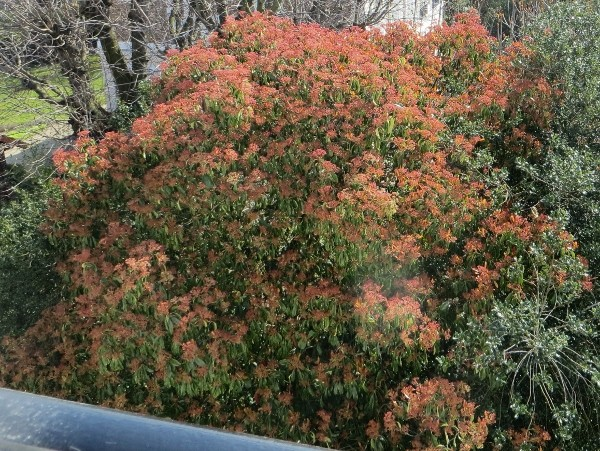 Photinia serrulata Avril_10