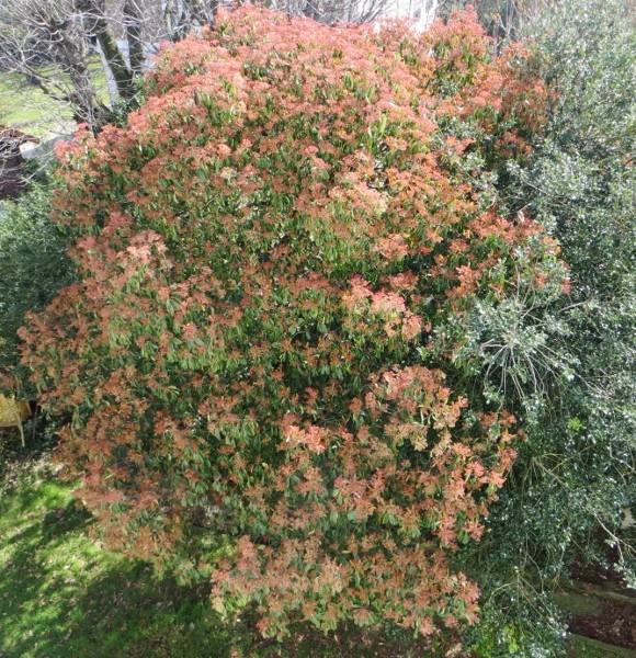 Photinia serrulata Avril_11