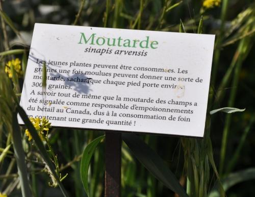 Sinapis alba - moutarde blanche Corse_11