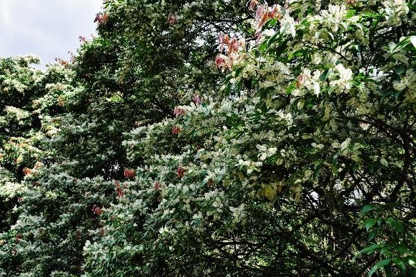 Mangifera indica - manguier Costa_12