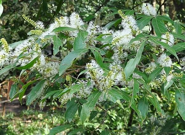 Mangifera indica - manguier Costa_13