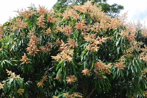 Mangifera indica - manguier Costa_14