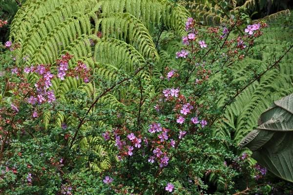 fougères géantes au Costa-Rica Costa_16