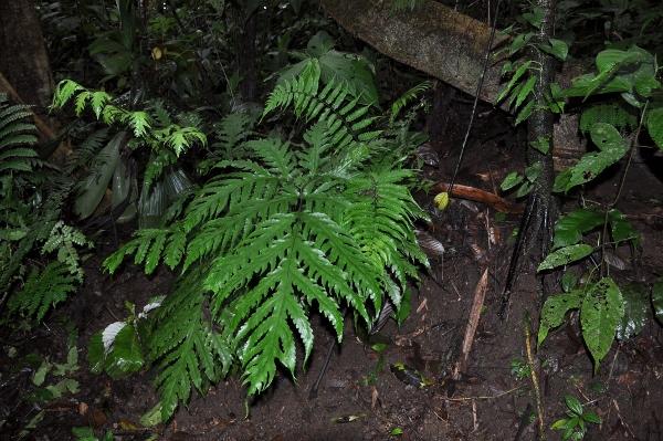 fougères géantes au Costa-Rica Costa_22