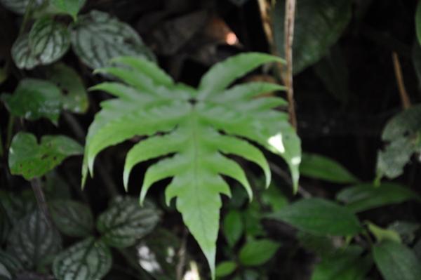 fougères géantes au Costa-Rica Costa_24