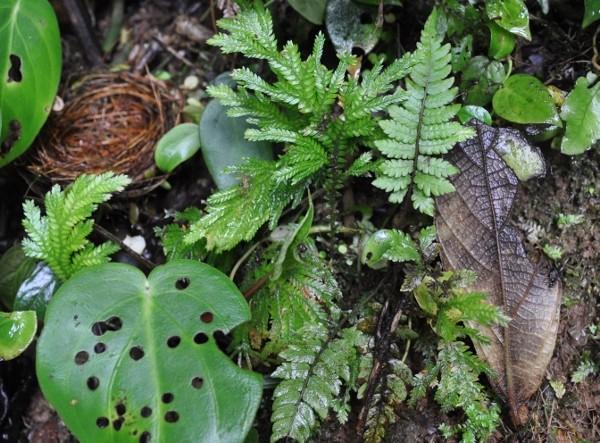 fougères géantes au Costa-Rica Costa_28