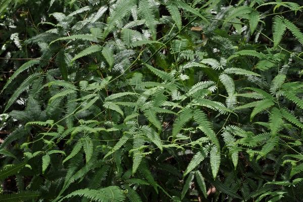 fougères géantes au Costa-Rica Costa_31