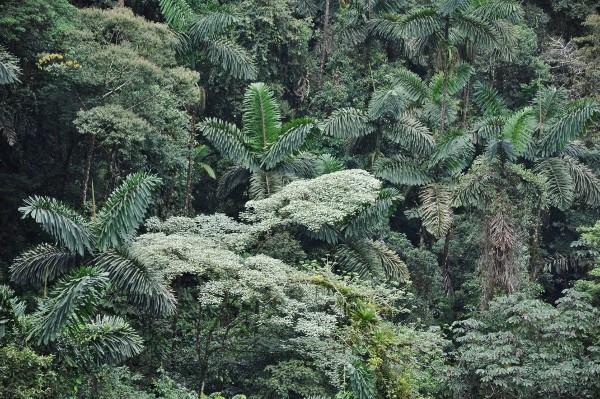 Iriartea deltoidea (et Socratea exorrhiza) - palmier à échasses Costa_56