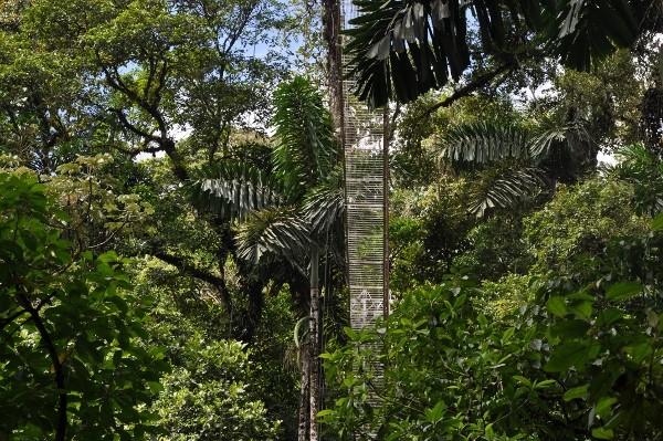 Iriartea deltoidea (et Socratea exorrhiza) - palmier à échasses Costa_57
