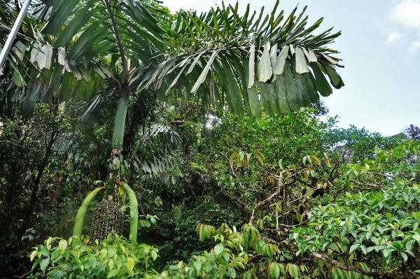 Iriartea deltoidea (et Socratea exorrhiza) - palmier à échasses Costa_58