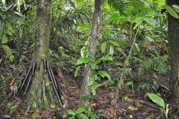 Iriartea deltoidea (et Socratea exorrhiza) - palmier à échasses Costa_64