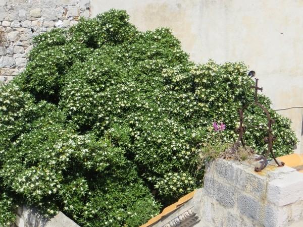Pittosporum tobira Croati12