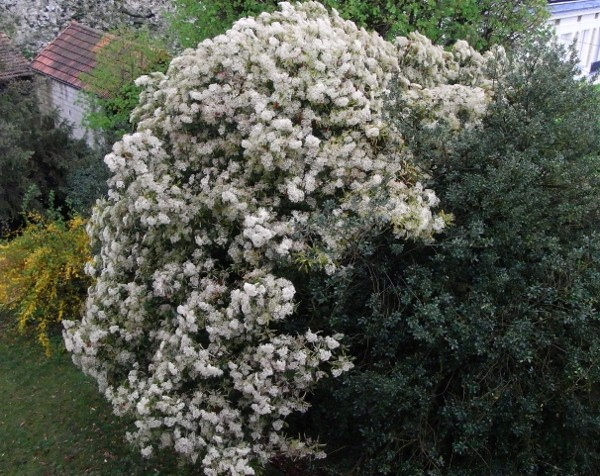 Photinia serrulata Dybut_10