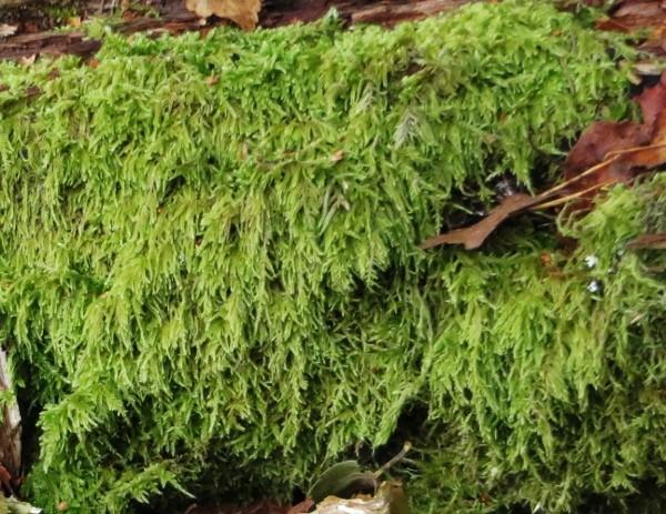 sphaignes et stéréodon - bryophytes de tourbière Limous10
