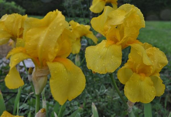 Des iris barbus jaunes pour ensoleiller le  jardin  Mai_2012