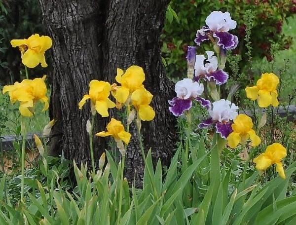 Des iris barbus jaunes pour ensoleiller le  jardin  Mai_2013