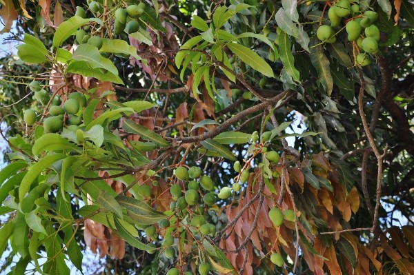 Mangifera indica - manguier Mangui10