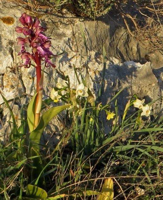 Narcissus dubius - narcisse douteux  Mars_214