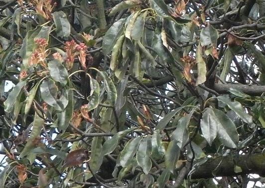 Photinia serrulata Photin12